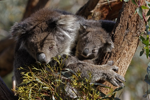 First ever koala joey born at Moonlit Sanctuary